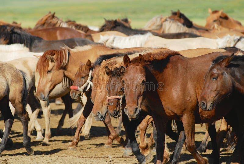 Gregge di giovani cavalli mongoli selvaggi in steppa in Kharkhorin, Mongolia fotografia stock libera da diritti