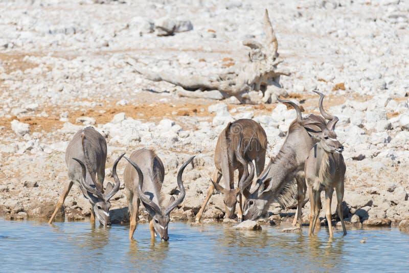 Gregge di Kudu che beve dal waterhole di Okaukuejo Safari nel parco nazionale di Etosha, destinazione maestosa della fauna selvat fotografia stock libera da diritti