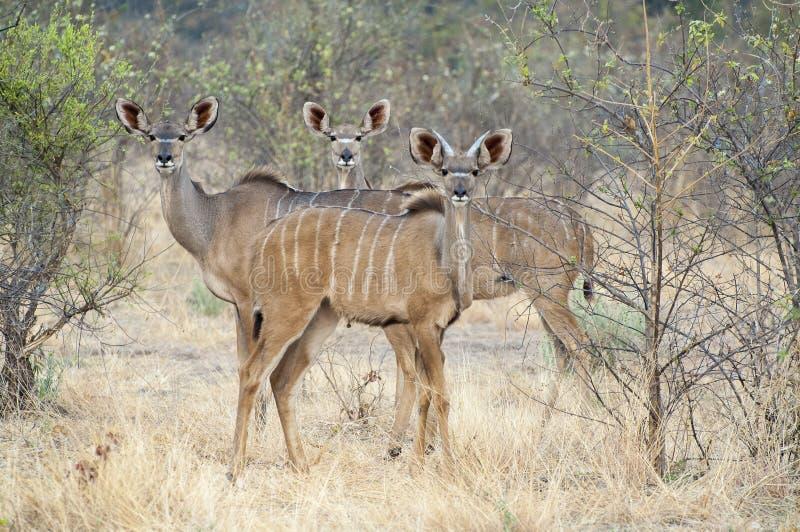 Gregge di Kudu femminile fotografia stock