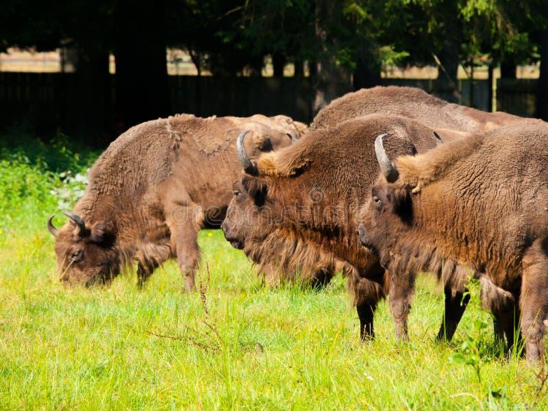Gregge di legno europeo del bisonte fotografie stock libere da diritti