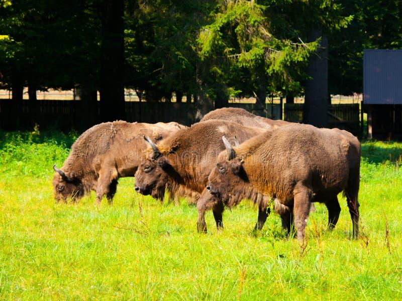Gregge di legno europeo del bisonte immagini stock libere da diritti
