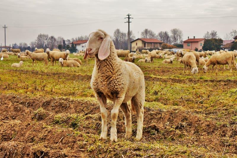 gregge en el vallata, all& x27 del zona del una de DA del spostati del vengono del capre del pecore e; scolti del terreni del tra fotografía de archivo libre de regalías
