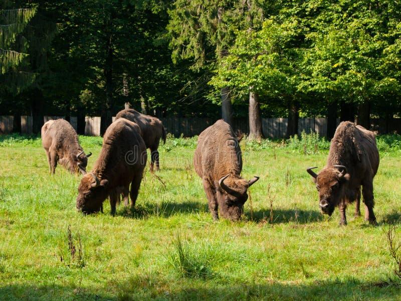 Gregge europeo del bisonte immagini stock libere da diritti