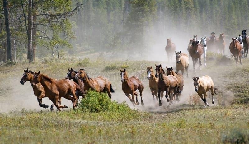Gregge galoppante del cavallo fotografia stock libera da diritti
