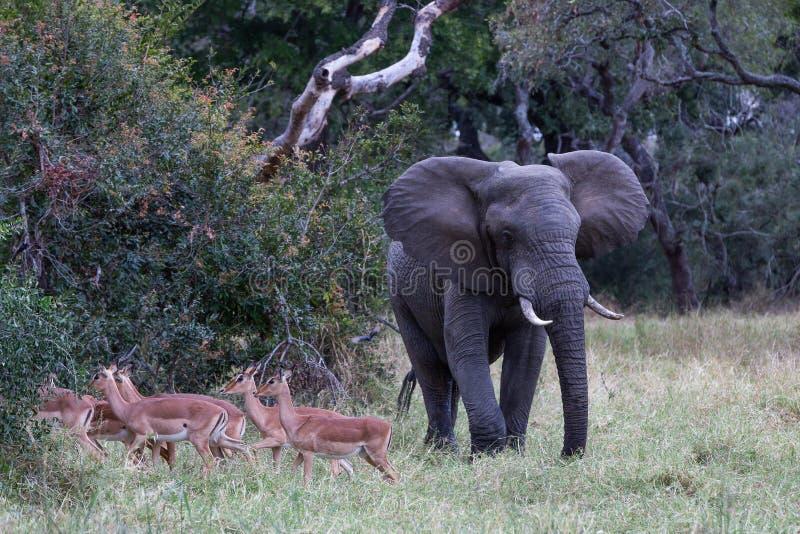 Gregge passato di camminata del toro dell'elefante dell'impala fotografie stock