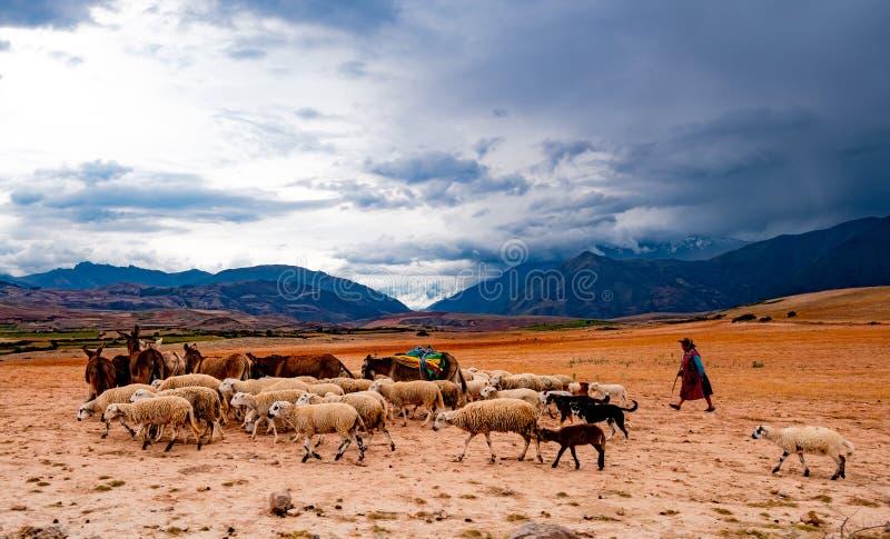 Gregge principale di Sherpherd delle pecore e degli asini fotografia stock libera da diritti