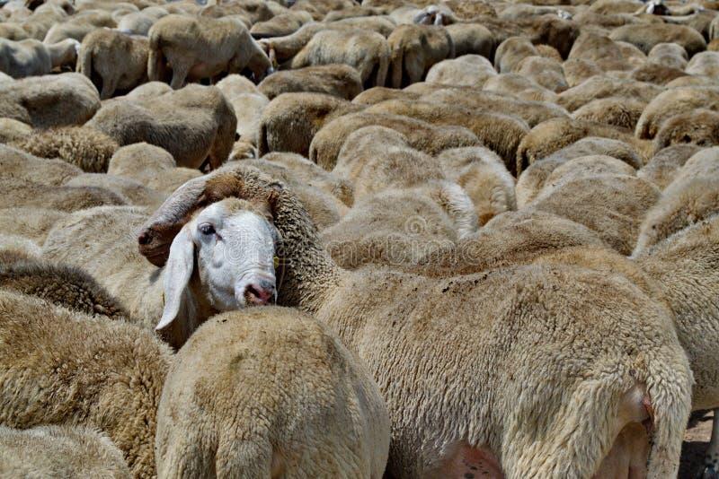 Gregge sulle pecore nei campi italiani immagini stock libere da diritti