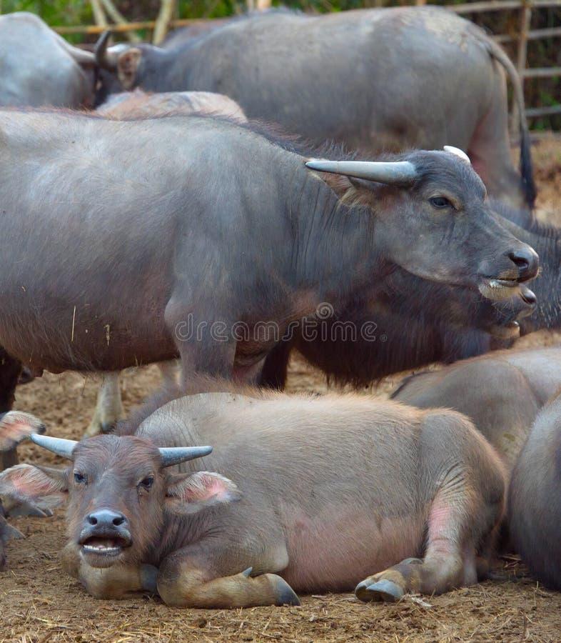 Gregge tailandese del bufalo immagine stock libera da diritti