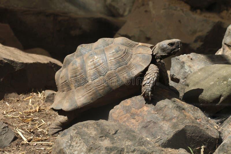 Grekisk sköldpadda (Testudograecaen) arkivbilder