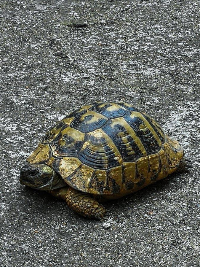 Grekisk sköldpaddasköldpadda arkivbild