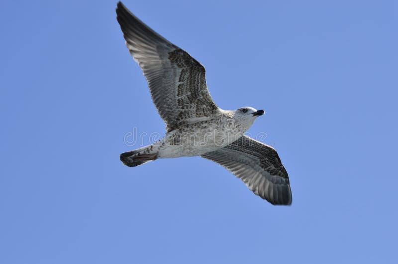 Grekland zoologi, fågel arkivbilder