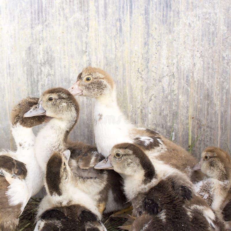 Grelha do pato em uma explora??o agr?cola de casa fotos de stock
