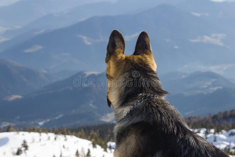Greman牧羊犬 库存照片