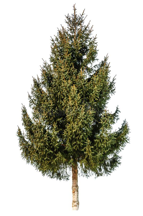 Free Gren Fir Tree Isolated Stock Image - 129646731