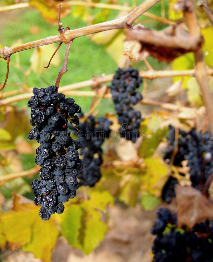 Download Grenache Grapes, McLaren Vale Stock Photography - Image: 14542752