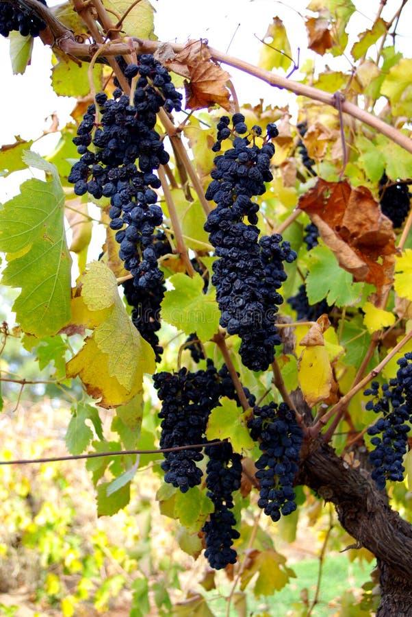 Grenache Grapes, McLaren Vale Stock Images