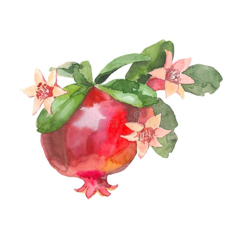 Grenade tirée par la main, peinture d'aquarelle sur le fond blanc, illustration d'aquarelle pour la conception de nourriture illustration stock
