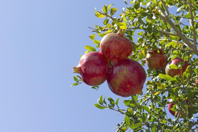 Grenades rouges dans l'arbre images stock