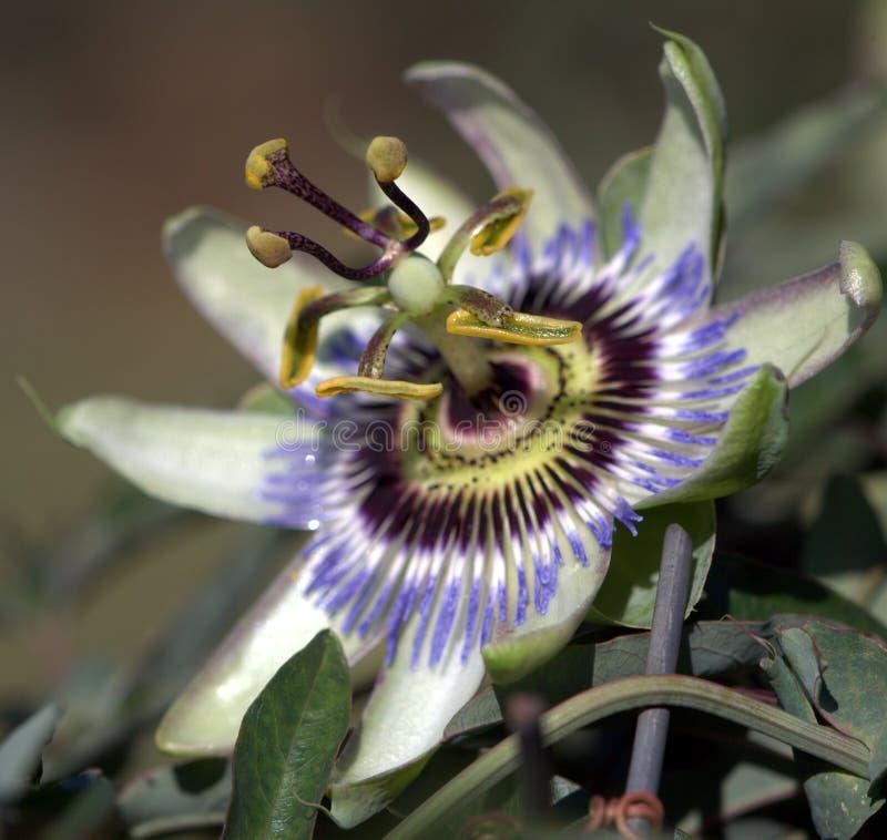 Grenadille-Blume lizenzfreies stockbild