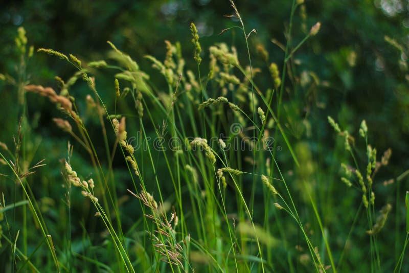 Grenn trawy łąka zdjęcie royalty free