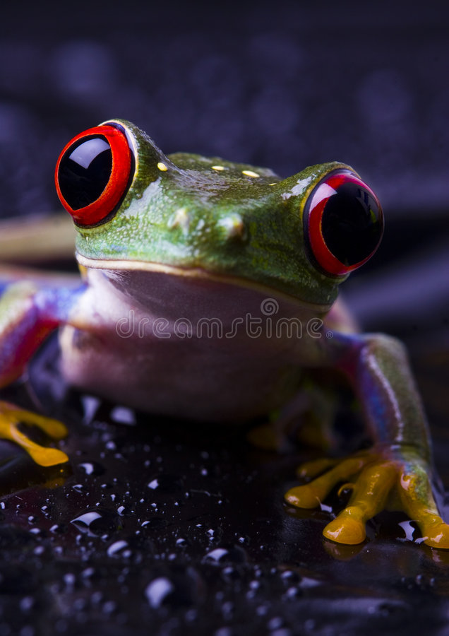 Grenouille photo stock