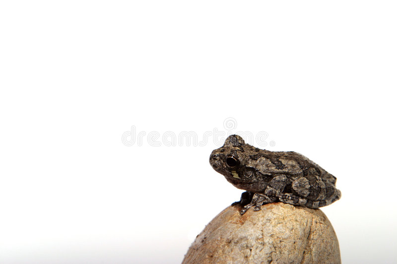 Download Grenouille 4 photo stock. Image du animal, charmer, isolement - 84072