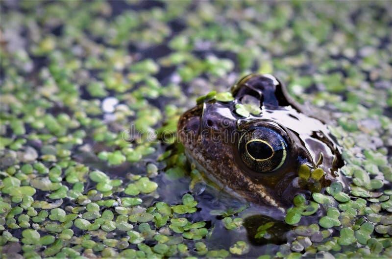 Grenouille apprêtant de l'étang de jardin photo stock