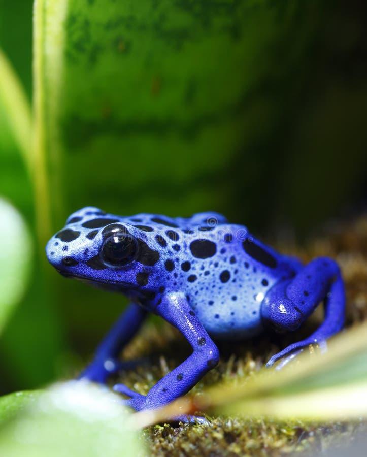 Grenouille bleue de dard de poison images stock