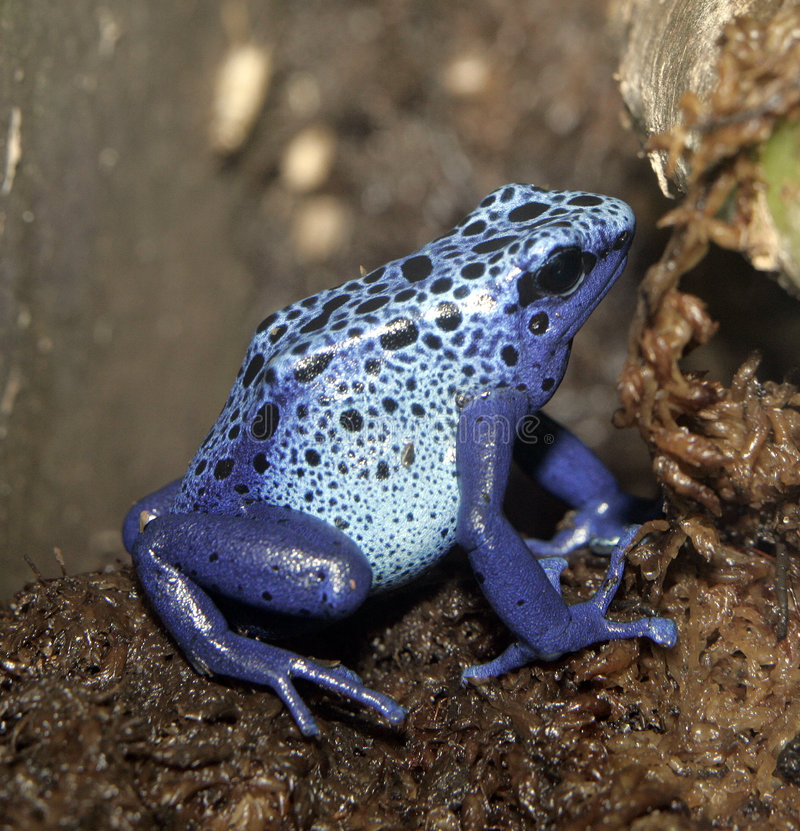 Grenouille bleue de dard de poison image libre de droits