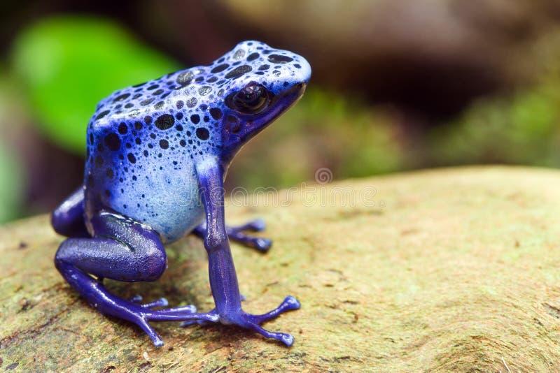 Grenouille bleue de dard de poison, azureus de Dendrobates photographie stock libre de droits