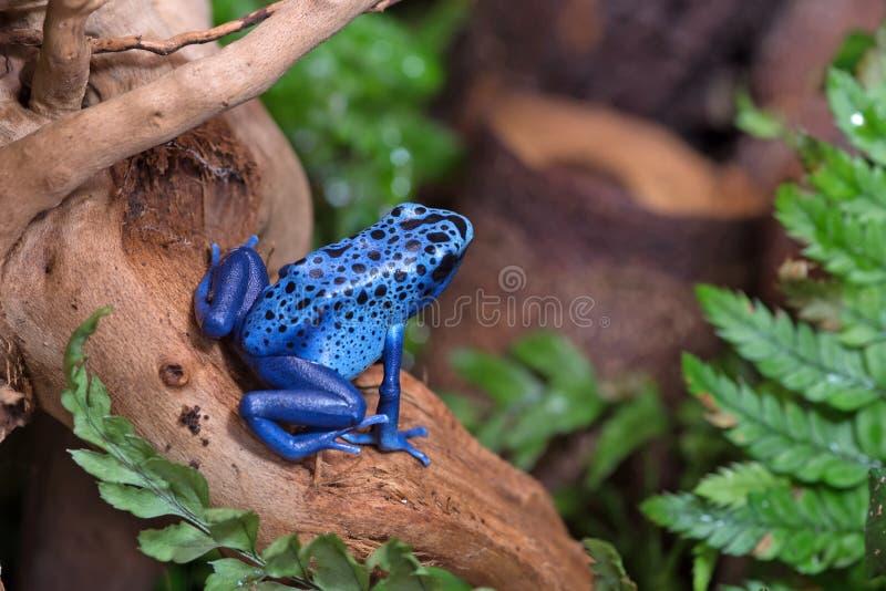 Grenouille bleue de poison images libres de droits