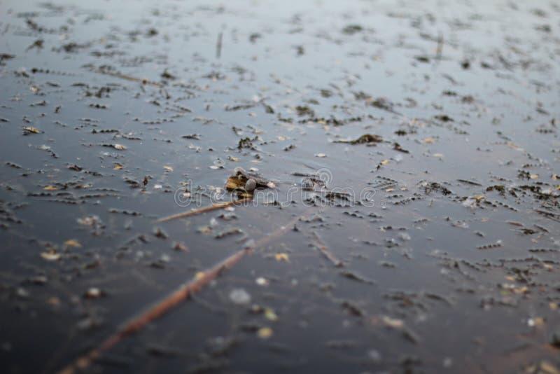 Grenouille coassant sur la surface de l'eau image libre de droits