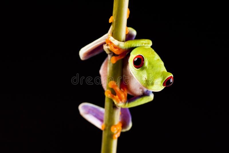 grenouille colorée images libres de droits