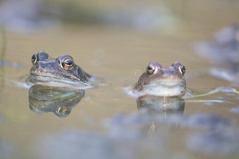 Grenouille,crapaud d'Europe,rana temporaria au début du printemps pendant l'accouplement, bufo bufo photo stock