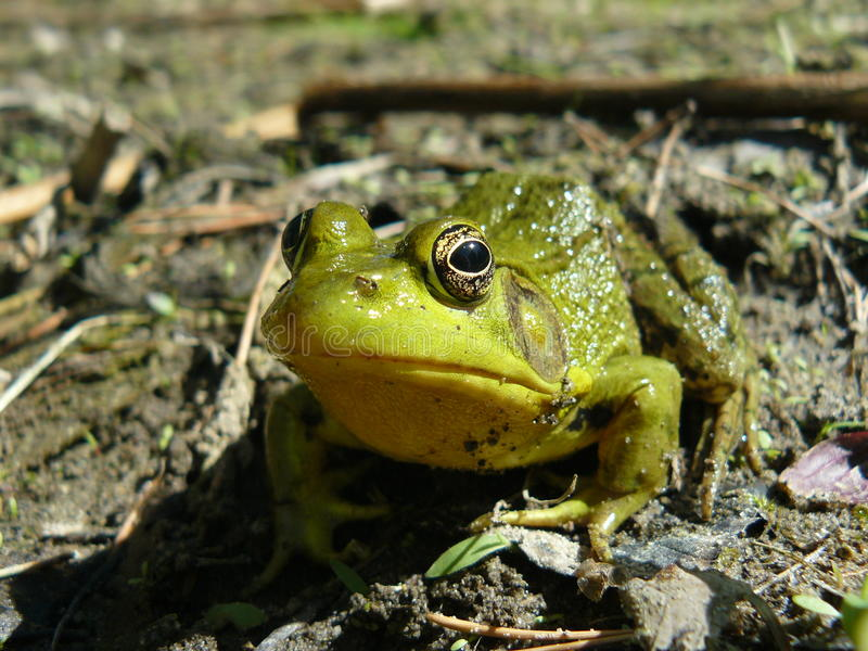 Grenouille curieuse image stock