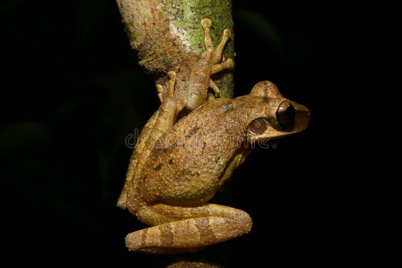 Grenouille d'arbre photographie stock