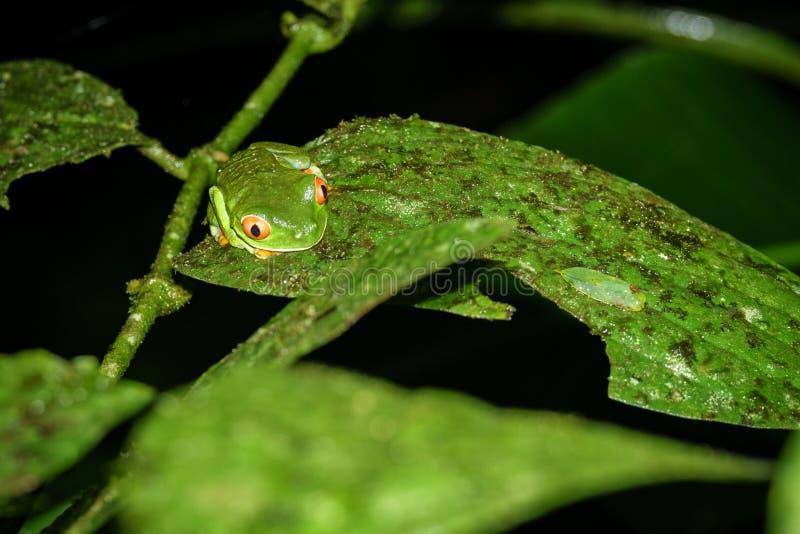 Grenouille d'arbre aux yeux rouges, callidryas d'Agalychnis par nuit en Costa Rica photos stock