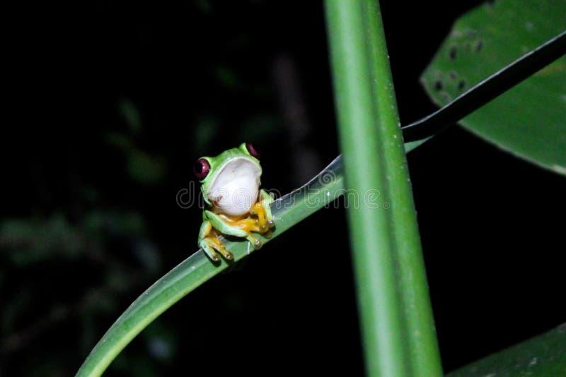 Grenouille d'arbre aux yeux rouges en forêt tropicale de Costa Rican images stock