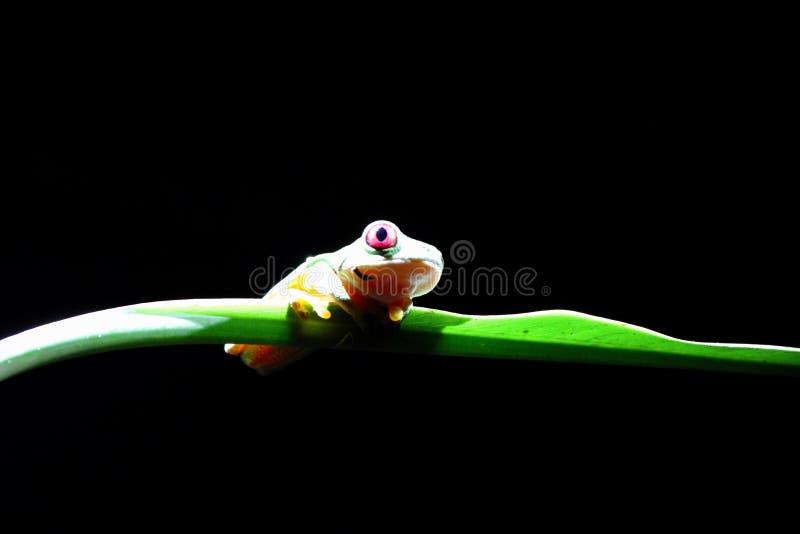 Grenouille d'arbre aux yeux rouges en forêt tropicale de Costa Rican image libre de droits