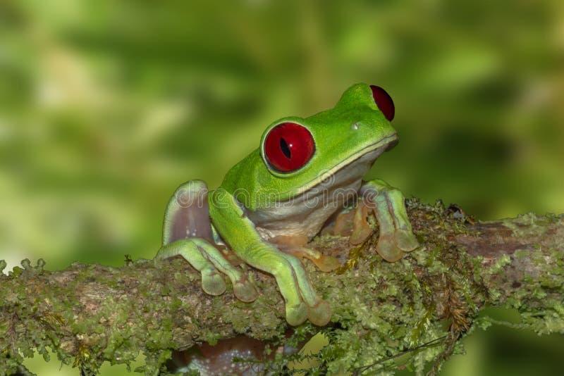 Grenouille d'arbre aux yeux rouges sur une branche photo libre de droits