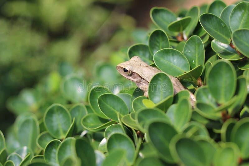 Grenouille d'arbre commune photo libre de droits