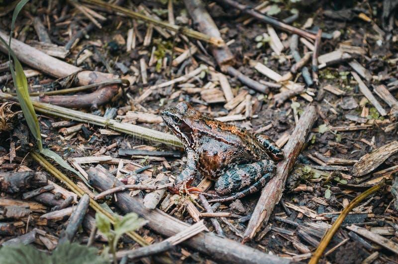 Grenouille d'arbre dans la terre d'humidité de forêt d'herbe photographie stock libre de droits