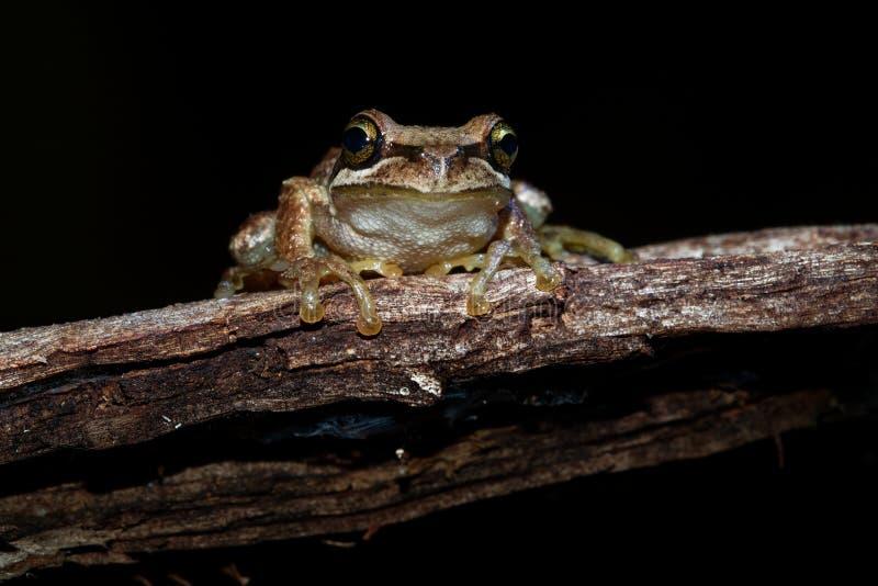 Grenouille d'arbre du sud de Brown - ewingi de Litoria, grenouille d'arbre siffleuse ou grenouille d'arbre d'Ewing, espèces d'ind image stock