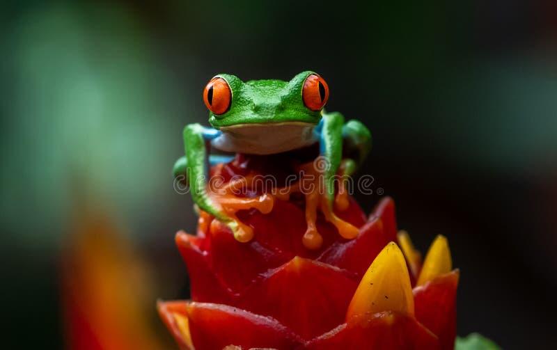 Grenouille d'arbre en Costa Rica image libre de droits