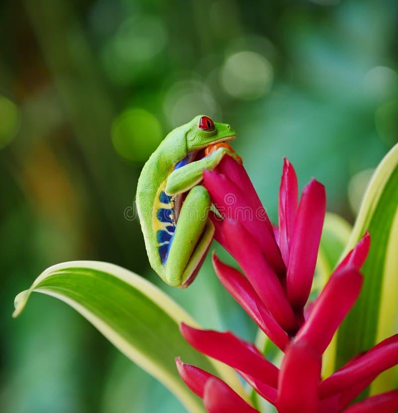 Grenouille d'arbre observée par rouge sur une fleur photo stock