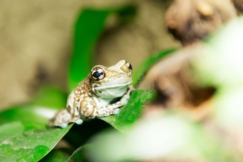 Grenouille d'arbre ou grenouille de lait d'Amazone photographie stock