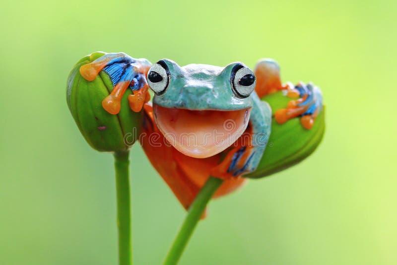 Grenouille d'arbre, plan rapproché volant de grenouille avec la bouche ouverte photographie stock libre de droits