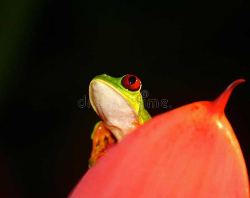 Grenouille d'arbre Red-eyed image libre de droits