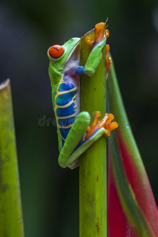 Grenouille d'arbre Red-eyed photos stock
