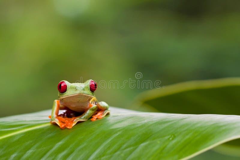 Grenouille d'arbre Red-eyed sur la lame image stock